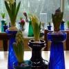 hyacinths in bud and bloom in vases