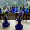 hyacinths in bloom in vases end of December