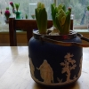 forced hyacinths in a biscuit barrel